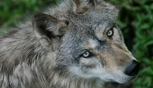 Gray Wolf « Wildlife Science Center